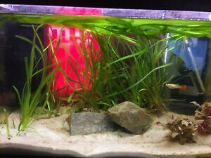 Five (5!!) Vallisneria Americana EELGRASS *Fast-Growing* Live Aquarium Plants ✅