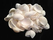 White Ark Seashells Half Pound Bag 90-100 Shells