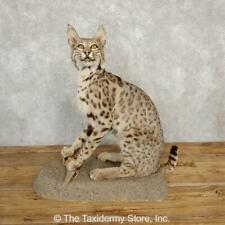 #20226 P+*   Bobcat Life-Size Taxidermy Mount For Sale
