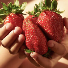 Pack of 6 Giant Strawberry 'Sweet Colossus' Plug Plants Grow Your Own