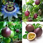 10pcs Tropical Exotic Passion Fruit Seeds Purple Passiflora Edulis Germination