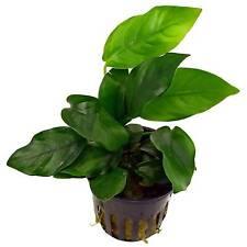 PIANTA PIANTE X ACQUARIO ANUBIAS BARTERI NANA EASY AQUARIUM PLANT !