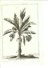 Stampa antica Mandragora Calmet 1789. Incisione bianco e nero