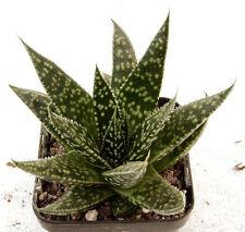 "Gasteraloe ""Etwin"" - a Gasteria - Aloe hybrid"
