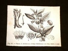 Piante e Botanica nel 1869 Pianta di Belladonna o Atropa Belladonna