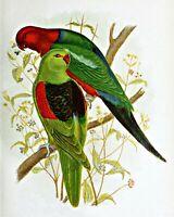 Red Winged & King Lory by Australian Gracius Broinowski. Bird Art . 11x14 Print