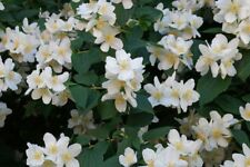 Garden Mockorange, Sweet Mock Orange (Philadelphus coronarius) 300 seeds
