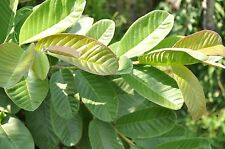 50 Guava Leaves  from S. California Home Garden Organic  Fresh Green Cut  Nature