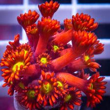 Unique Corals Wysiwyg, Uc Mickey Mouse Goniopora