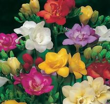 FREESIA DOUBLE MIXED 15 BULBS SWEET FRAGRANCE SUMMER FLOWERING FREE P&P