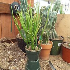 "Euphorbia ~ tirucalli Bleistift Cactus 6"" -8"" TALL bare Root"