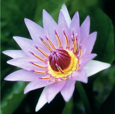 Nymphaea Colorata Purple Hardy Water Lily Tuber Rhizome Buy2Get1Free*