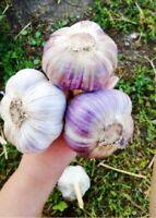 Seeds Giant Garlic Lyubasha Winter Organic Heirloom Russian Ukraine
