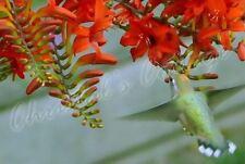 20 MIXED CROCOSMIA GARDENING BULB CORM ORANGE SPRING SUMMER FLOWER PERENNIAL
