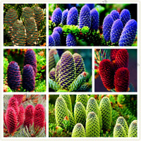 100 PCS Seeds Korean Fir Abies Koreana Bonsai Tree Plants Garden Decoration Home