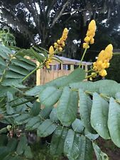 50+ Candlestick Cassia Seeds Candle Bush  (Cassia Alata) - Butterfly Host Plant