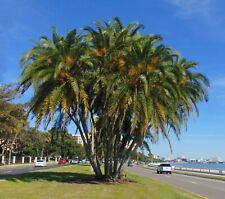 Senegal Date Palm Phoenix reclinata Organic 20 Seeds (Free Us Shipping)