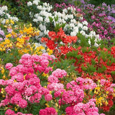 6 X MIXED RHODODENDRONS BUSHY SHRUBS COLOURFUL POTTED GARDEN PLANTS IN POT