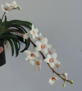 Orchid Sarcochilus hartmanii  ** In Flower**