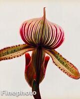 1980 Vintage IRVING PENN Botanical ORCHID FLOWER Fine Photo Engraving Art 12X16