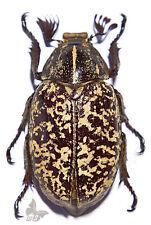 Polyphylla tonkiense,Unmounted beetle