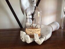 Globe Fourmi Camponotus gigas soldat!! Cabinet de curiosités Oddities insecte