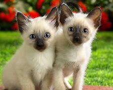 Ragdoll Kitten / Cat 8 x 10 / 8x10 GLOSSY Photo Picture