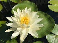 Water Lily Moondance White Winter-Hardy Sprouted Tuber Rhizome