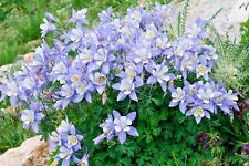 50 BLUE ROCKY MOUNTAIN COLUMBINE Aquilegia Flower Seeds