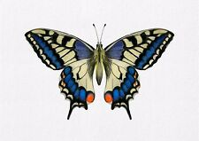 Swallowtail Butterfly Watercolour Painting A4 Signed Limited Edition Print