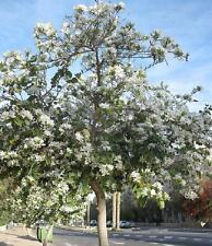 White Love Tree (Bauhinia Variegata Alba) 15 Seeds