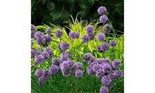 ALLIUM 'MEDUSA'- ORNAMENTAL ONION - STARTER  PLANT