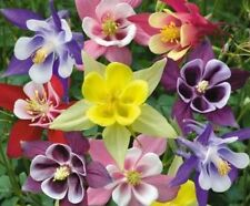 COLUMBINE MCKANA MIX 50 FRESH SEEDS FREE SHIPPING