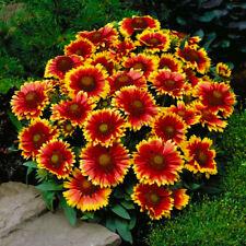 100 Seeds Gaillardia Bonsai Perennial Plant House Herb Garden Flower Pot Decor