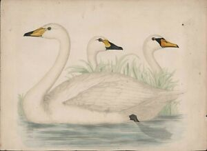 """Swans  print by  A.F.Lydon  from Morris's  """"British Birds""""  Victorian     JX1859"""