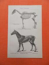 PFERD PFERDE Anatomie Gangarten Kopfformen Exterieur Holzsiche von 1908