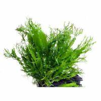 piante per acquario d'acqua dolce, microsorum pteropus windelov