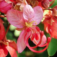 10 Samen Rosen-Kassie - Cassia roxburghii (marginata) - Red Cassia seeds