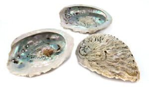 3 St Abalone Muschel 6 cm Lang Seifenschale echte Perlmutt Muschel (1,95 €/St)