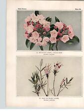 1934 Wildflower Book Plate Mountain & Pale Laurel Labrador Tea  Staggerbus
