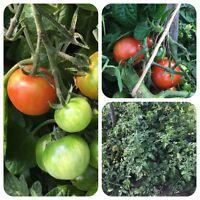 Wildtomate Humboldtii rote Tomate aus Venezuela mit süßen Früchten