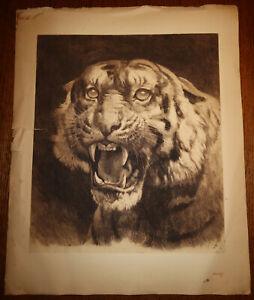 "1891 TIGER by Herbert DICKSEE Head Original Engraving Clifford Large 30"" x 24"""