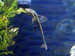 Whiptail Loricaria Catfish live freshwater aquarium fish