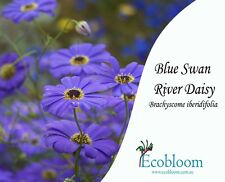 Swan River Daisy (Brachyscome iberidifolia - blue) 20 grams, Thousands of Seeds