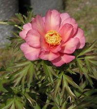 """1x ITOH PEONY """" Julia Rose """" Rare Intersectional Paeonie Paeonia Peonie Rose 8"""""""