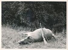 GABON c. 1930 - Chasse en Afrique Plaine de Gomé  Buffle  - Div 7119