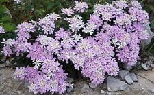 Gibraltar candytuft Seeds (Iberis Giblartarica) Lavender Colour Groundcover