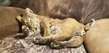 Taxidermy mount playful bobcat laying mount wall coyote fox