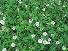 Wild Flower - Wild White Clover - Trisodium repens  - 1500 Seeds