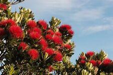Der immergrüne Weihnachtsbaum zeigt seine rote Blütenpracht im Wonnemonat Mai !